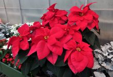283687 Poinsettia Trial 2016 Schival Greg Display Intern